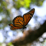 monarch butterfly flight , 6 Photos Of Monarch Butterfly Flying In Butterfly Category
