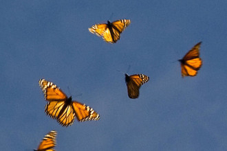 monarch butterfly flying in Plants