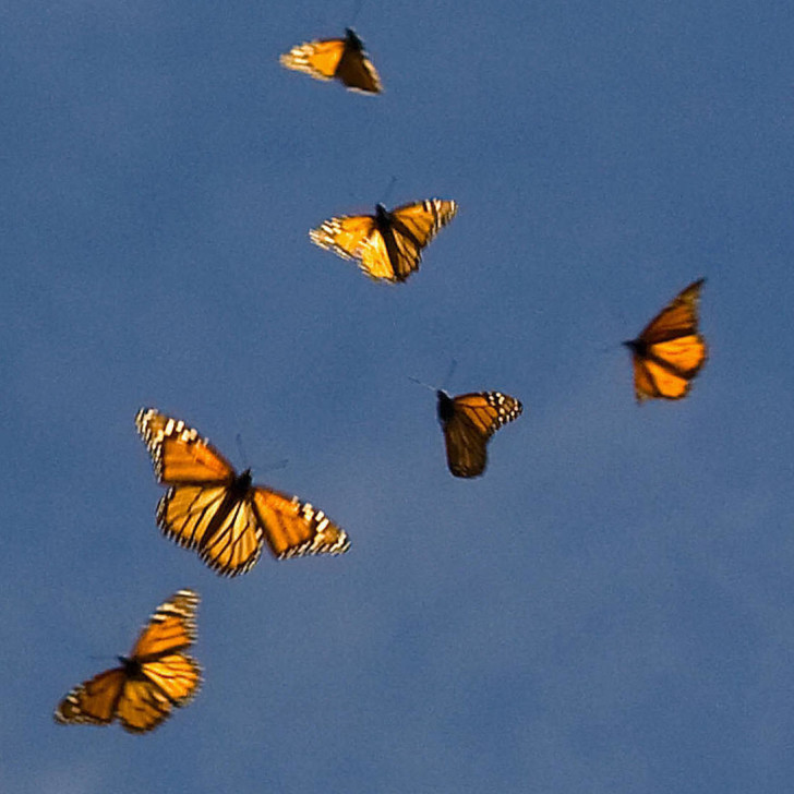 Butterfly , 6 Photos Of Monarch Butterfly Flying : Monarch Butterfly Flying