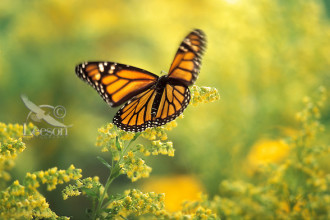 Monarch Butterfly Flying Speed , 6 Photos Of Monarch Butterfly Flying In Butterfly Category