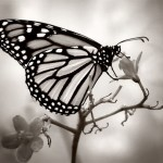 monarch butterfly isolated on white photo , 6 White Monarch Butterfly In Butterfly Category