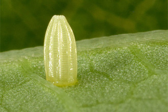 Monarch Butterfly Life Cycle , 6 Monarch Butterfly Eggs Photos In Butterfly Category