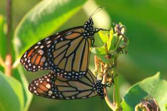 Monarch Butterfly Mating Habits , 9 Monarch Butterfly Mating Photos In Butterfly Category