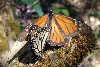 Monarch Butterfly Mating Process , 9 Monarch Butterfly Mating Photos In Butterfly Category