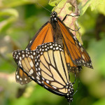 monarch butterfly mating rituals , 9 Monarch Butterfly Mating Photos In Butterfly Category