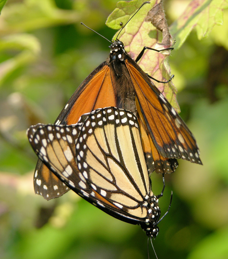 Butterfly , 9 Monarch Butterfly Mating Photos : Monarch Butterfly Mating Rituals