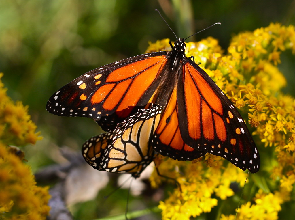 monarch butterfly Monarchs are large, beautifully colored butterflies that are easy to recognize by their striking orange, black, and white markings photograph by misscanon, dreamstime.