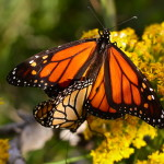 monarch butterfly mating season , 9 Monarch Butterfly Mating Photos In Butterfly Category