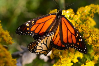 monarch butterfly mating season in Spider