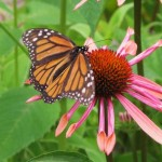 monarch butterfly on flower , 7 What Does Monarch Butterfly Eat In Butterfly Category