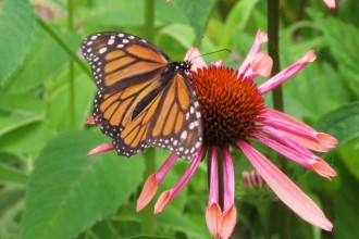 monarch butterfly on flower in Birds
