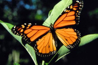 monarch butterfly pics in Genetics
