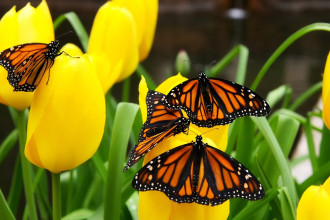 Monarch Butterfly Picture , 6 Monarch Butterflies In Butterfly Category