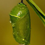 monarch butterfly pupa facts , 7 Monarch Butterfly Pupa Photos In Butterfly Category