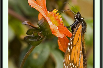 monarch butterfly sucking nectar in Mammalia