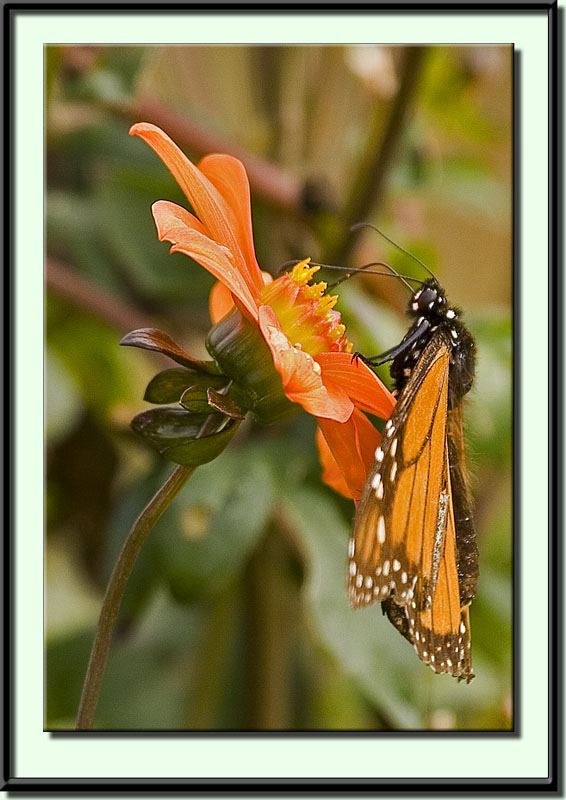 Butterfly , 7 What Does Monarch Butterfly Eat : Monarch Butterfly Sucking Nectar