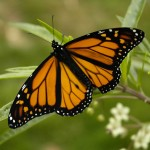 monarch butterflys , 6 Monarch Butterflies In Butterfly Category