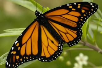 monarch butterflys in Organ