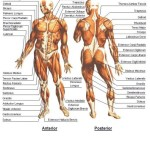 muscle anatomy the human body , 4 Human Body Muscles Labeled In Muscles Category
