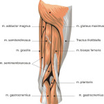 muscles back of thigh , 7 Pictures Muscles Back Of Thigh In Muscles Category