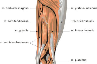 muscles back of thigh in Skeleton
