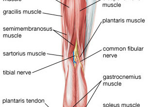 Muscles Back Of Upper Leg , 7 Pictures Muscles Back Of Thigh In Muscles Category