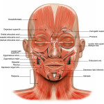 muscles face , 4 Facial Muscles Anatomy In Muscles Category