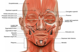 muscles face in Mammalia
