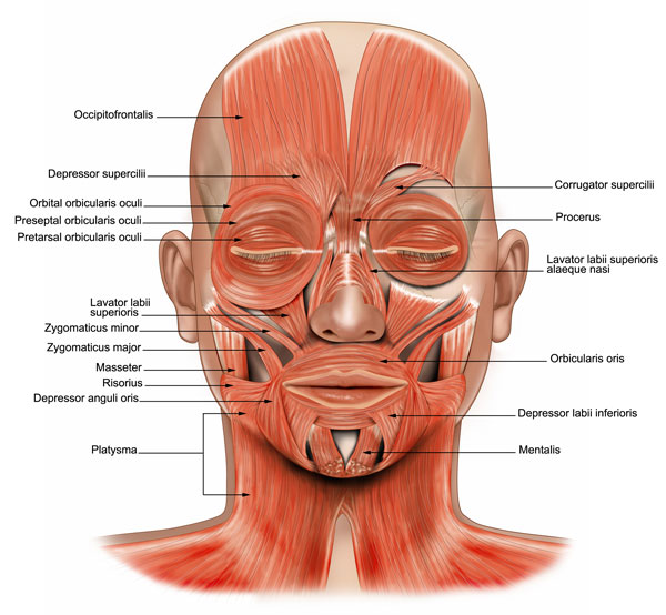 Muscles , 4 Facial Muscles Anatomy : Muscles Face