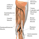 muscles on back of thighs name , 7 Pictures Muscles Back Of Thigh In Muscles Category