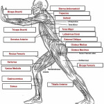 muscular system labeled , 4 Human Body Muscles Labeled In Muscles Category