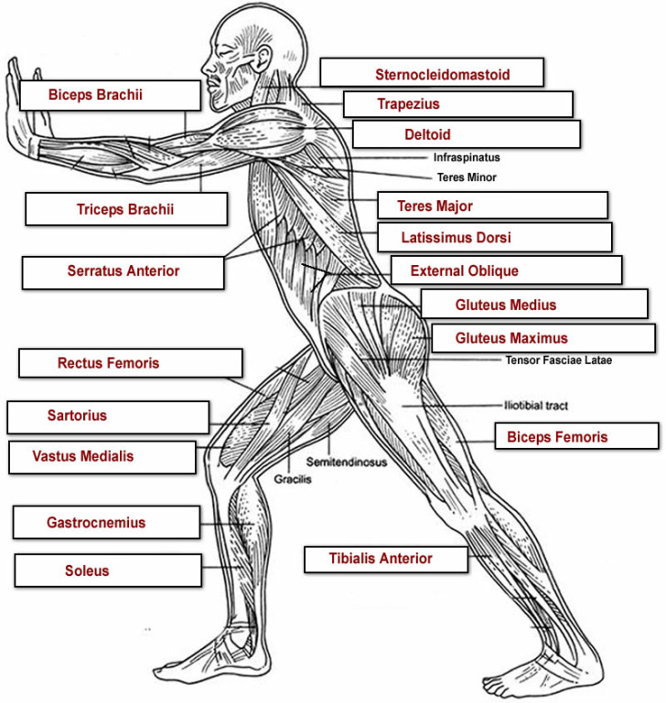 Muscles , 4 Human Body Muscles Labeled : Muscular System Labeled