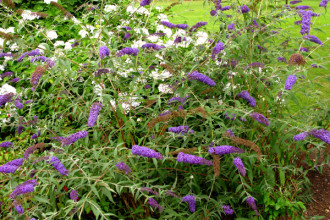 nanho blue butterfly bush pic 2 in Spider