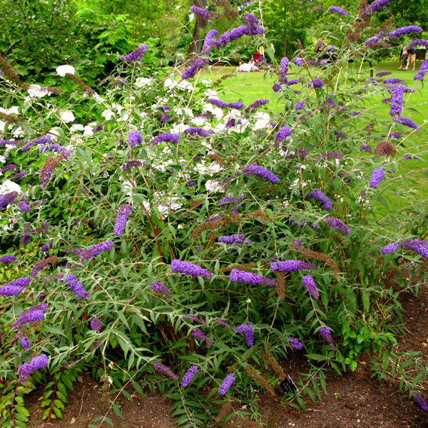 Plants , 4 Nanho Blue Butterfly Bush Pictures : Nanho Blue Butterfly Bush Pic 2