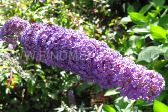 Nanho Blue Butterfly Bush Pic 4 , 4 Nanho Blue Butterfly Bush Pictures In Plants Category
