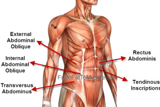 oblique abdominals function in Butterfly