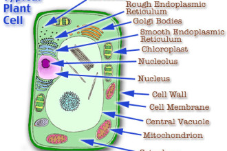Organelles Of The Plant Cell Pic 4 , 5 Pictures Of Plant Cell Organelles In Cell Category