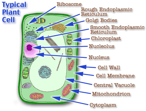 an analysis of cell structure and the green pigment chlorophyll