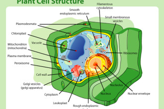 Organelles Of The Plant Cell Pic 5 , 5 Pictures Of Plant Cell Organelles In Cell Category