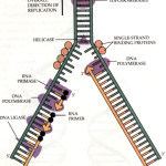 outline of dna replication , 5 Outline Of Dna Replication In Cell Category