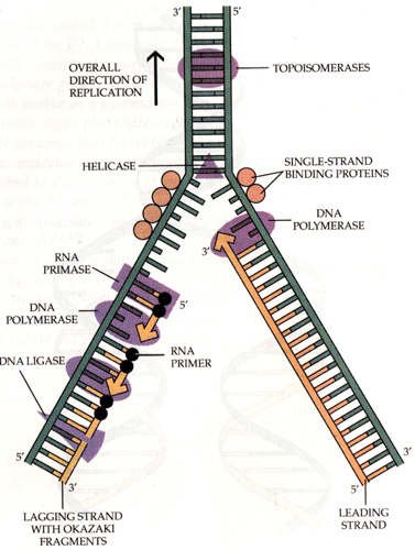 Cell , 5 Outline Of Dna Replication : Outline Of Dna Replication