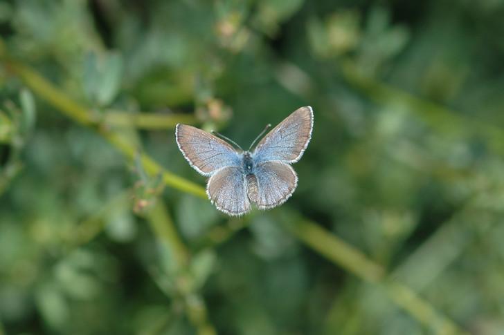 Butterfly , 5 Palos Verdes Blue Butterfly Species : Palos Verdes Blue Butterfly Habitat