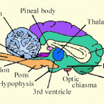 part of brain that contains thalamus , 4 Part Of Brain That Contains Thalamus In Brain Category
