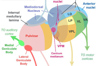 Parts Of The Brain Thalamus , 4 Part Of Brain That Contains Thalamus In Brain Category
