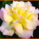 peace Modern Roses , 7 Modern Roses Names In Plants Category
