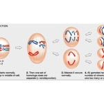 phases of meiosis cell , 4 Meiosis Cell Division Animation In Cell Category