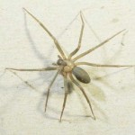 pic of brown recluse spider , 8 Brown Reclus Spider Photos In Spider Category