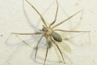pic of brown recluse spider in Plants
