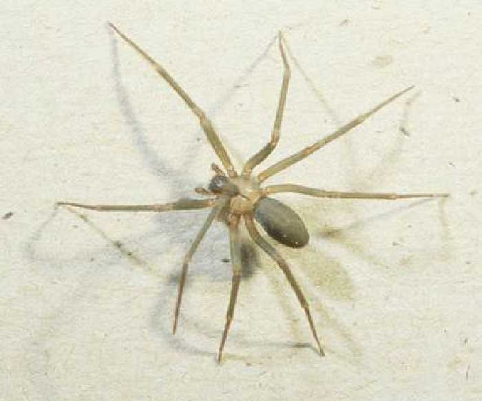 Spider , 8 Brown Reclus Spider Photos : Pic Of Brown Recluse Spider
