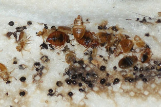 Pictures Of Bed Bug Bites , 6 Bed Bug Mattress In Bug Category